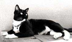 Tuxedo Cat-LOOKS JUST LIKE MY OREO COOKIE