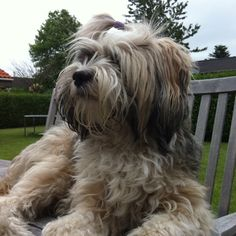 Not a thing @all but one of my fav dogs Tibetan Terrier, Malou.