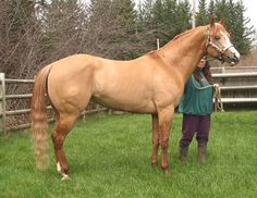 Dunn with Tradition - APHA Stallion