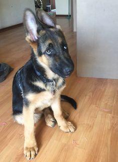 GSD Puppy-Sergio