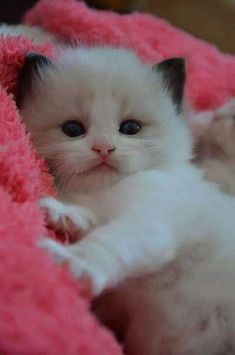 These cute kittens will make you amazed. Cats are fascinating creatures. Kittens And Puppies, Cute Cats And Kittens, Baby Cats, I Love Cats, Kittens Cutest, Ragdoll Kittens, Fluffy Kittens, Pretty Cats, Beautiful Cats