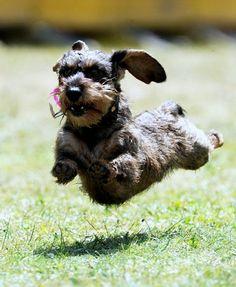 z- Dog Running Full Speed
