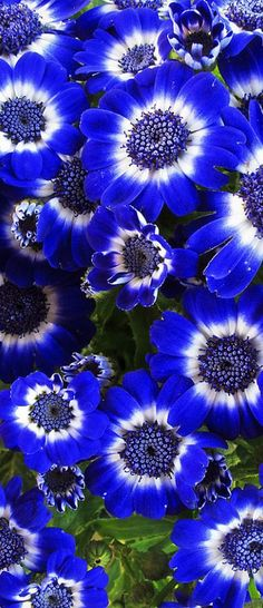 I LOVE COBALT BLUE. Anyone know anything about these. What zone & if they are perennials