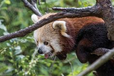 "The San Diego Zoo's Red Panda ""Flynn"" is about as cute as it gets."