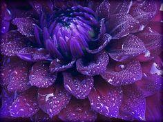 purple dahlia - south coast botanic garden