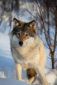 Wild wolf.