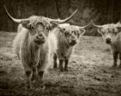 small but mighty beasties    Dan Routh Photography - Scottish Highland cows.