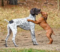 German Shorthaired Pointer This reminds me so much of my 11 month Vizsla - Jager met a 14 week old vizsla Skye Pointer Puppies, Pointer Dog, Vizsla Puppies, Dogs And Puppies, Doggies, German Shorthaired Pointer, Hunting Dogs, Fauna, Working Dogs
