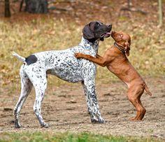 Vizsla puppy love   Jager met a 14 week old vizsla Skye   Leonard Black   Flickr