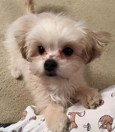 Larry the Morkie Puppy!!! <3