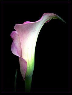 Pink Calla by LenasArtWorXS