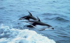 Svolta storica in sede ONU per i cetacei: durante il meeting della CMS, la Convenzione sulle specie migratorie prevista dal trattato internazionale dell'Unep (United Nations Environment Program), s...