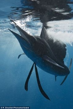 Fastest fish: A sailfish gobbles up a stray sardine near the surface of the water