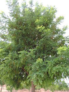 Robinia pseudoacia. http://www.elhogarnatural.com/Arboles.htm