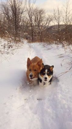 108 Reasons Why Corgis Really Are That Great