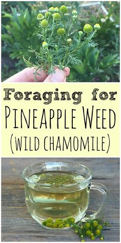 Pineapple weed, also known as wild chamomile, is easy to forage for. It is a common plant that is edible and had many medicinal benefits! #pineappleweed #wildchamomile #foraging #wildcrafting