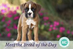 Right breed for you? Boxer information including personality, history, grooming, pictures, videos, how to find a Boxer and AKC standard.