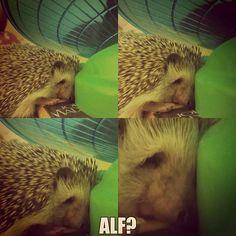 Alf? #alf #twintower #hedgehog