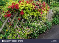 trellis-with-climbing-roses-front-garden-picket-fence-red-rose-climbing-CWAMWX.jpg (1300×941)