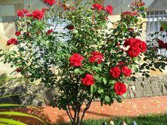 O cultivo de rosas é uma atividade agradável e satisfatória, que constitui um mundo em jardinagem. Muitos jardineiros foco e se especializar nesta cultura tão atraente. Não é um curso fácil de cultivo, mas com perseverança e pesquisando sobre qualquer um pode ter sucesso. Fertilização Fertilização desempenha um papel importante no cultivo de rosas. As… Yellow Roses, Red Roses, Pearl Rose, Office Plants, Small Trees, Garden Inspiration, Vegetable Garden, Bonsai, Flower Power