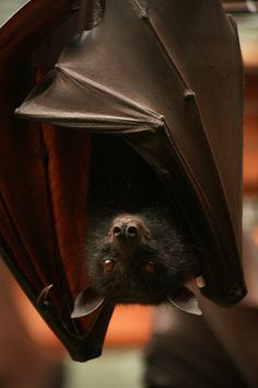 """Fruit bat,  """"So that movie you say you want me to star in, What do say you gonna a call it? (Silence) """"Bat what? Nope, it's been done already count me out!"""""""