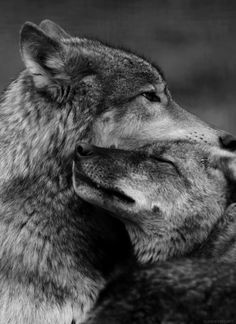wolves lovin on eachother