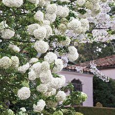 """Bola de nieve: """"Viburnum opulus"""" es uno de los arbustos más llamativos en primavera, por sus blancos racimos de flores"""