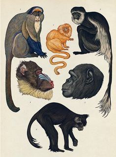 Primates illustration by Katie Scott from Animalium, published by Big Picture Press. Monkey Illustration, Nature Illustration, Botanical Illustration, Primates, Mammals, Amphibians, Animal Paintings, Animal Drawings, Illustration Botanique