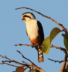 Collared Falconet (Microhierax caerulescens) is a species of bird of prey in the Falconidae family. It is found in the Indian Subcontinent and Southeast Asia, ranging across Bangladesh, Bhutan, Cambodia, India, Laos, Myanmar, Nepal, Thailand, Malaysia, and Vietnam. Its natural habitat is temperate forests.