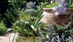 Agapanthus pot display - Pots & containers: Bulbs - gardenersworld.com