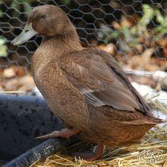 rouen duck my type of ducks pinterest bird and animal