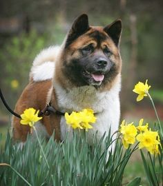 #Akita #Puppy #Dogs