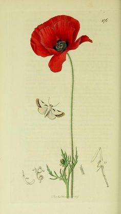 Acontia catena or Acontia nitidula (Brixton Beauty Moth) with a Field Poppy from British Entomology by John Curtis ( 1840's).