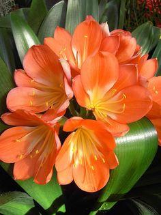 Bright orange Amaryllis