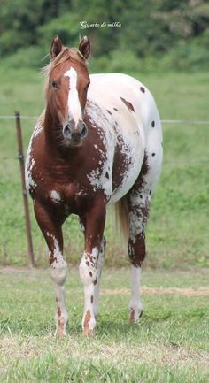 Beautiful Appaloosa!