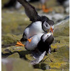 Puffins ballroom dancing...look at him dip her!
