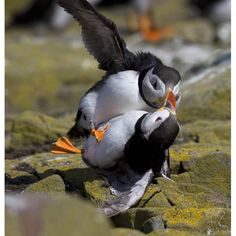 Puffins ballroom dancing...look at him dip her!