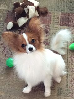 Little But Commands Attention Dogs Pets Papillons Puppies