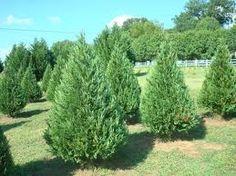 leyland cypress - Google Search