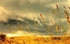 Golden Fields Wheat Yellow Grass Plains