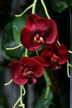 Orquidea vermelha perfeitas
