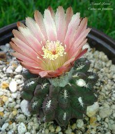 Eriosyce napina / Cactus sin fronteras / Manuel Licona