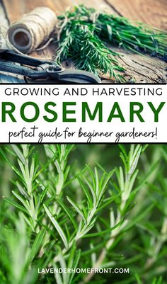 Learn the basics of growing this great herb. Rosemary is a wonderful perennial herb that is perfect for landscaping. It's also great for companion planting in the garden by repelling pests. Use rosemary in bath products, in the kitchen and in beauty products and crafting. #herbgarden #gardeningtips #gardenideas #beginnergardening