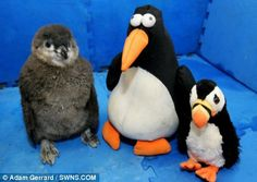Staff bought a toy penguin from the zoo shop which acts as a surrogate sibling to the chuffed chick - who cuddles up to its new friend all day. He also has a stuffed puffin. @Alia Kana