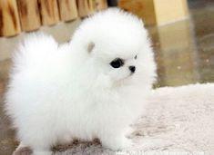 Micro Mini Teacup Pomeranian Puppies For Sale Pug Puppies For Adoption, Puppies For Sale, Cute Puppies, Cute Dogs, Dogs And Puppies, Maltese Puppies, Doggies, Teacup Pomeranian Puppy, Teacup Puppies