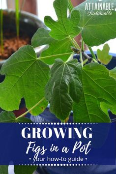 Tight on garden space Fig trees grown in containers may be ideal for your limited space or limited opportunity situation Heres what you need to know about fig tree c. Indoor Fig Trees, Potted Trees, Indoor Plants, Indoor Flowers, Hydroponic Gardening, Container Gardening, Organic Gardening, Indoor Gardening, Sustainable Gardening