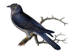 Gök, Cuculus canorus - Fåglar - NatureGate Flora And Fauna, Types Of Art, Botanical Art, Illustration Art, Bird, Science, Animals, Natural, Google