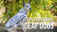 10 Tips for Living with a Deaf DogCaring for a dog with the loss of one of the major senses can be a huge task to tackle. Often requiring more care and attention of a special home, these dogs can be hard to place. Not everyone is up to ...