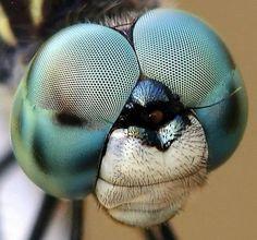 Mükemmel Bir Yaratılış Örneği: Yusufçuğun Gözü Çok yüksek hızlarda uçarken ani manevralar yapabilen yusufçuğun görme yeteneği de kusursuzdur. Yusufçuk gözü, dünyanın en iyi böcek gözü olarak kabul edilir. Her birinde 30.000 kadar ayrı mercek bulunan bir çift göze sahiptir. İki yarım küreye benzeyen ve başının yarısı kadar yer kaplayan gözler, böceğe çok geniş bir görüş sahası sağlar. Yusufçuk, gözleri sayesinde neredeyse arkasında olup bitenleri bile gözleyebilir.