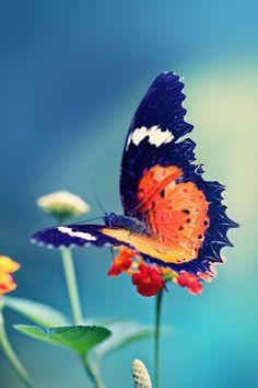 butterfly - very beautiful Papillon Butterfly, Butterfly Kisses, Butterfly Flowers, Butterfly Wings, Orange Butterfly, Flying Flowers, Butterflies Flying, Beautiful Bugs, Beautiful Butterflies